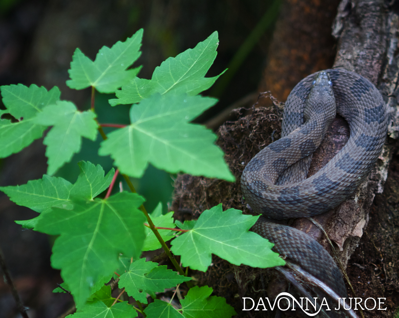 Snake, Boyd Hill Nature Preserve