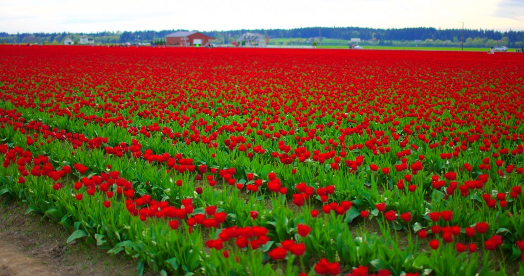 The Magical Tulip Fields of Mount Vernon, Washington